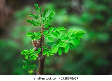 Closeup of sprouts, shoots or buds of organically growing Drumstick tree AKA Moringa, Moringa oleifera, horseradish tree, ben oil tree, benzolive tree or Malunggay. It grows in the tropical climates