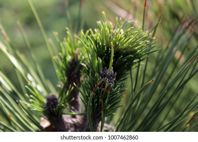 Close-up of the spruce branch