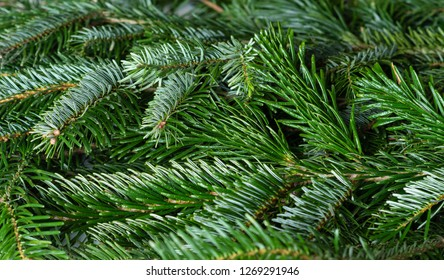 Closeup of  spruce branches selective focus. green Christmas background