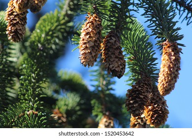 Closeup of Spruce Tree Branch with Cones