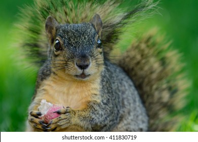 Closeup of squirrel eating a radish while sitting on the ground. Bright eyes bushy tail funny, relaxed