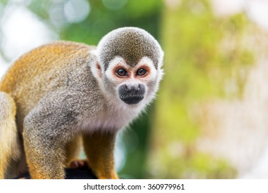 Closeup of a squirrel monkey in the Amazon rain forest in Colombia