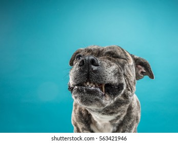 A close-up of a staff bull terrier making a funny face