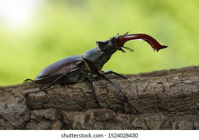 Closeup of stag beetle (Lucanus cervus) with big horns (mandibles) on tree over green forest background
