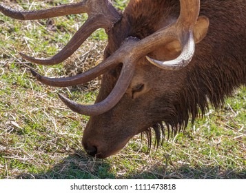 Closeup of a stag grazing on grass