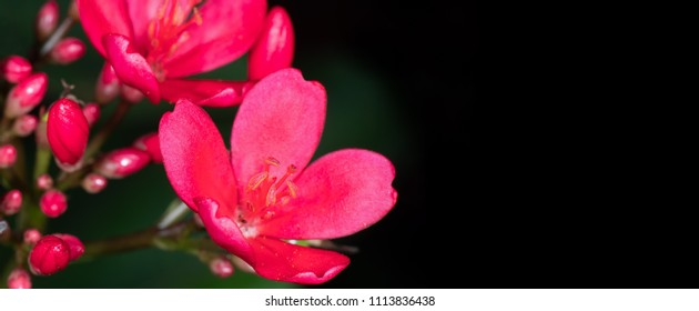 Closeup Stamen of Pink Flower with Buds Isolated on Black Blackground with Space for Text