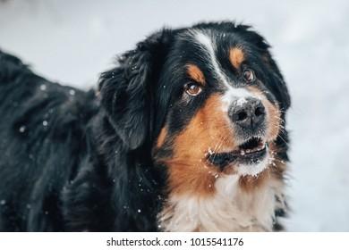 closeup of st.bernard dog with snow