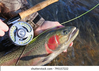 closeup steelhead trout and fly rod