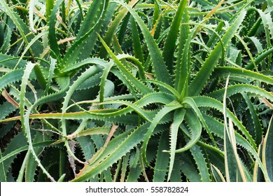 Closeup of the stem of aloe vera is a plant with many benefits.