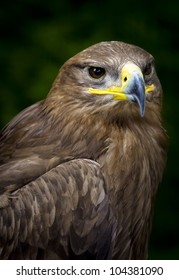 close-up of a steppe eagle (Aquila nipalensis)