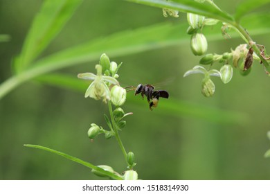 Close-up: A stingless bee (Trigona sp.) flying to the wild hemp (Cannabis sativa) flower in nature with blur background. selective focus.