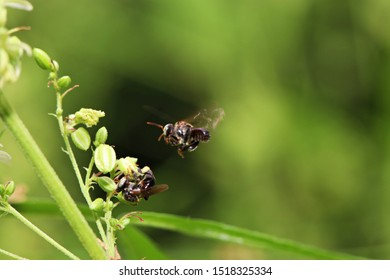 Close-up: The stingless bees (Trigona sp.) with wild hemp (Cannabis sativa) flowers in nature with blur background. selective focus.