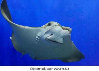 Closeup if Stingray through aquarium window