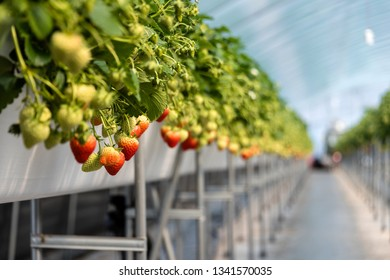 Closeup of a strawberry being grown in a vinyl greenhouse, Sancheong, South Korea