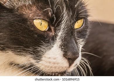 Close-up street cat portrait of European Shorthair breed