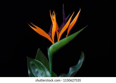 Close-up of strelitzia bird of paradise flower on the black background. Macro photography of nature.