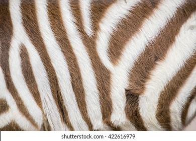 Closeup of stripes of a young zebra, Equus Quagga