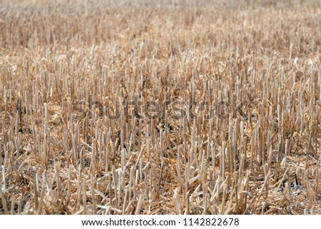 Closeup Stubble Field After Harvesting Wheat Stock Photo
