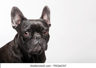 Closeup studio portrait of the gazing dog black french bulldog isolated on the white background