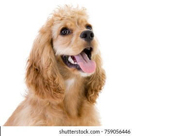 Close-up studio shot of a cute golden cocker spaniel dog looking up against white background with copy space