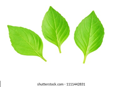 Close-up studio shot of fresh green basil  leaves isolated on white background