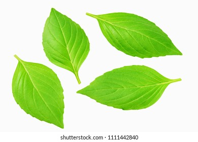 Close-up studio shot of fresh green basil  leaves isolated on white background