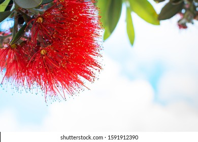 Close-up of a stunning crimson blossom of Pohutukawa tree against summer sky.
