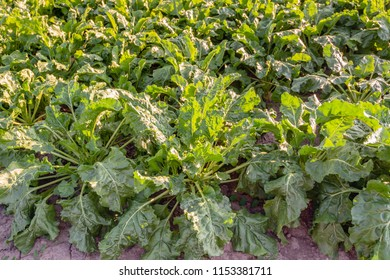 Closeup of sugar beet plants in backlight illuminated by the late evening sun. The photo was taken in the Dutch summer season.