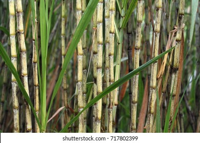 Closeup of sugar cane plant, saccharum officinarum, used for sugar production and ethanol