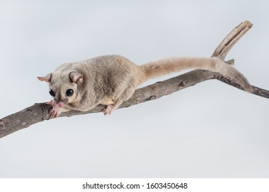 Close-up Sugar Glider (Petaurus Breviceps) on branch isolated on white background