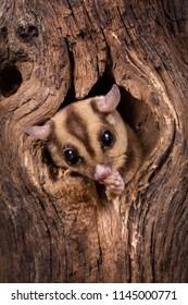 Closeup of a Sugar Glider squirrel peeking out of a tree hole