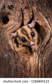 Closeup of a Sugar Glider squirrel peeking out of a tree hole