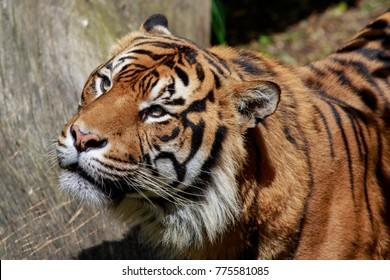 A closeup of a sumatran tiger looking up.