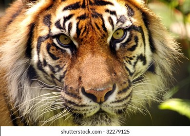 A close-up of a Sumatran tiger (Panthera tigris sumatrae) face