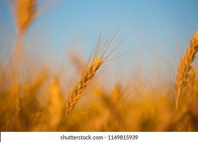 closeup summer wheat field, rural scene