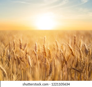 closeup summer wheat field at the sunset