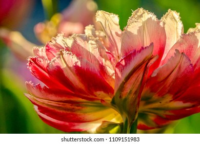 Closeup of a Sun Backlit Colorful Tulip