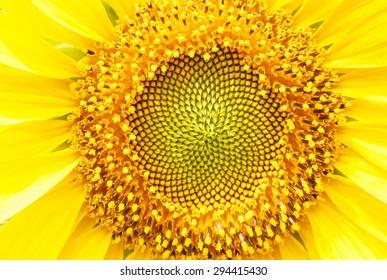 Closeup sun flower