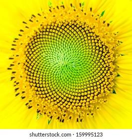 Close-up sun flower background