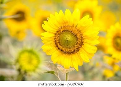 close-up of sun flower, beautiful yellow flowers