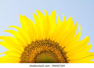 Close-up sunflower