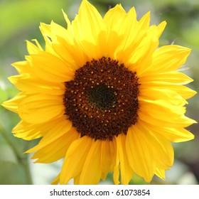 Closeup of Sunflower