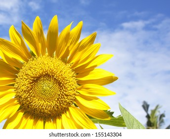 Close-up of sunflower against a blue sky