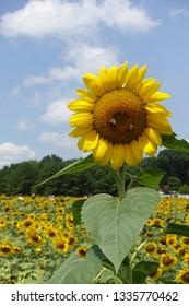 Closeup of a Sunflower in a Sunflower Field