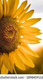 closeup of a sunflower in a field