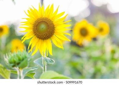 Closeup Sunflower natural background. Sunflower blooming sunset background.