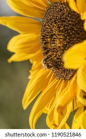 Closeup of a sunflower. On it sits a bee collecting pollen.