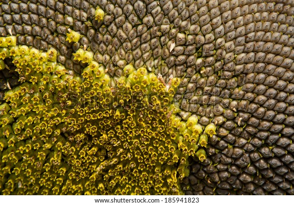Closeup of a sunflower with pattern of seeds