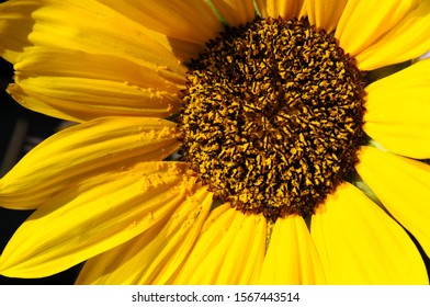 Closeup of a sunflower with pollen, scattered by the wind