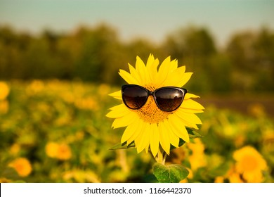Closeup sunflower wearing black sunglasses with blue sky background